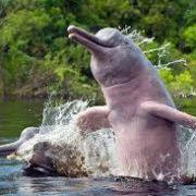 delfines-rosados-en-el-rio-amazonas